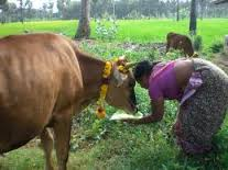 cow-pongal